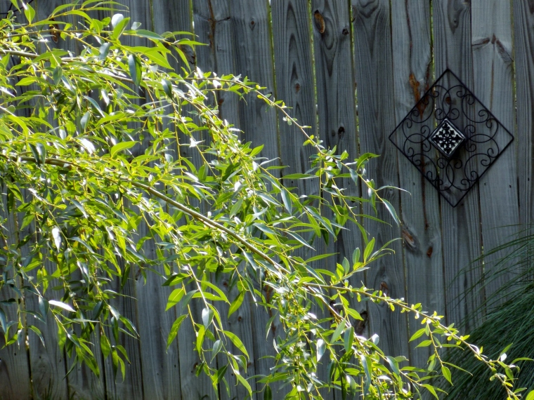 Willow Against Fence