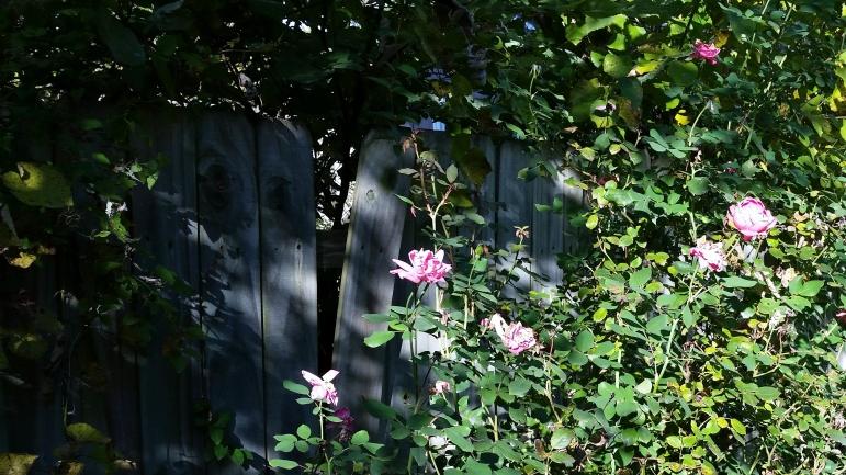 roses-3